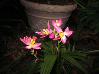 Bletilla orchids 5-16-2011 005